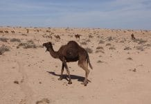 group of dromedaries in the desert