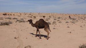groep dromidarissen in de woestijn