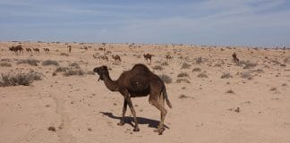 group of dromedaries in the desert