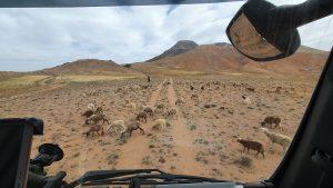 schapen op een zandweg