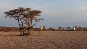 dromedaris in woestijn