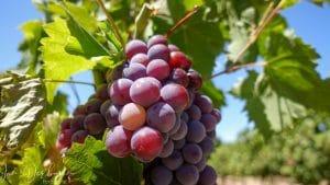 druiven aan plant