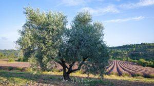 olijboom voor lavendelveld